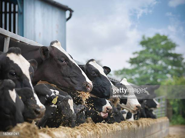 friesen cows feeding from trough on dairy farm - livestock stock pictures, royalty-free photos & images