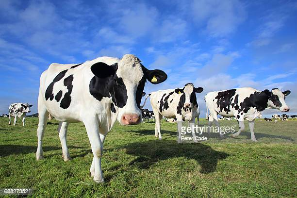 friesian cows in field - grazing stock pictures, royalty-free photos & images