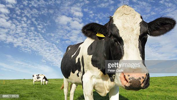 friesian cows in field - friesian cattle stock pictures, royalty-free photos & images