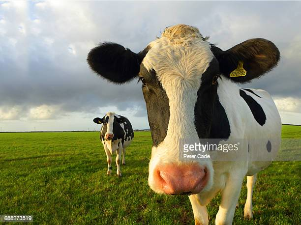 friesian cows in foild - friesian cattle stock pictures, royalty-free photos & images
