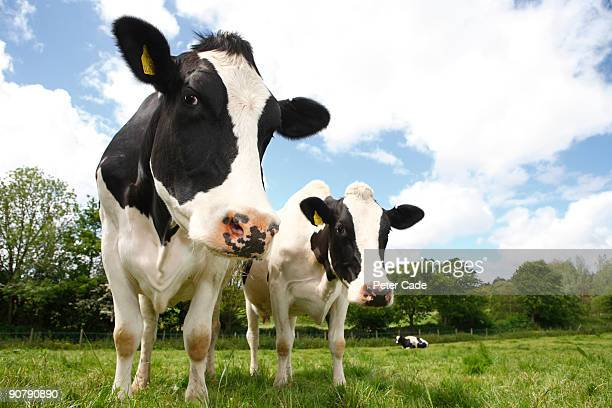 friesian cows - herbivorous stock pictures, royalty-free photos & images