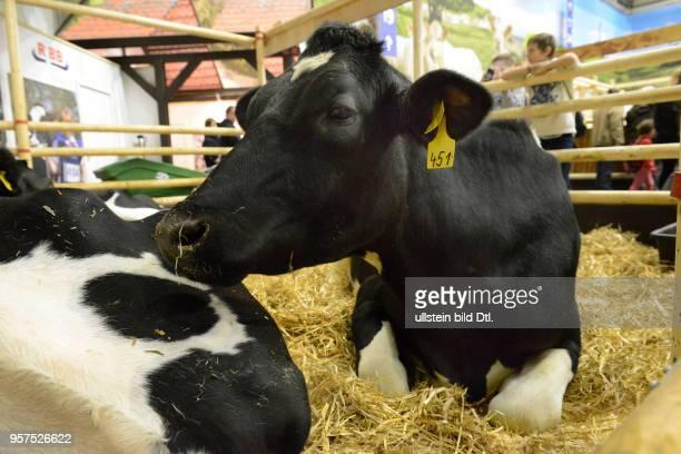 Friesische Kuh Halle 25 Gruene Woche Messe Charlottenburg Berlin Deutschland