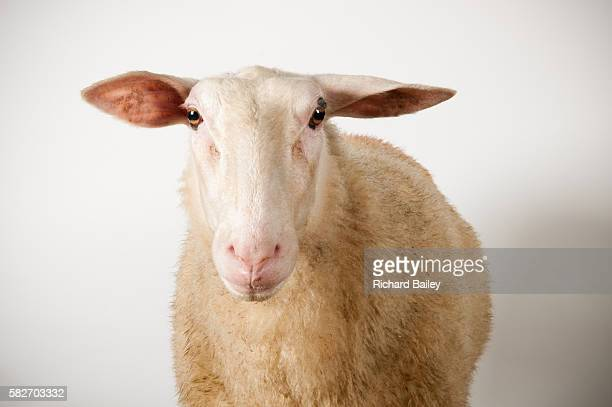 friesland sheep - sheep stock pictures, royalty-free photos & images