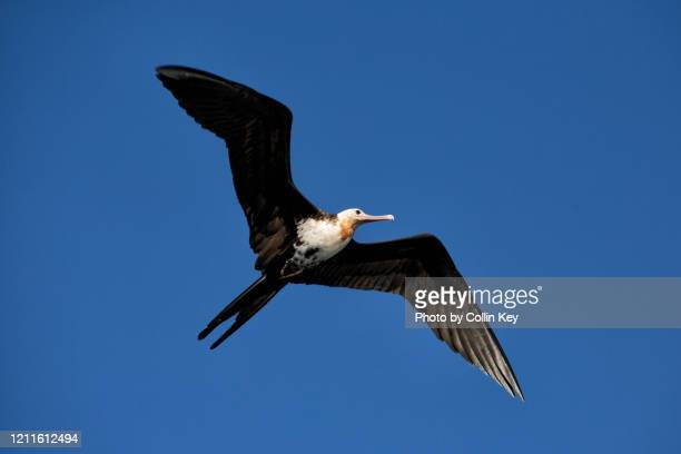 frigate bird - collin key stock-fotos und bilder