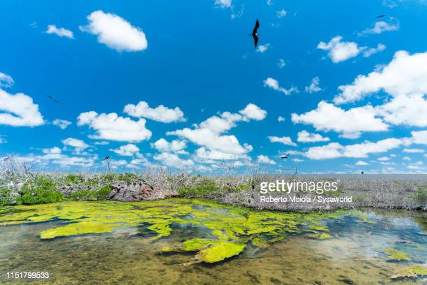 frigate birds colony (fregata magnificens), antigua and barbuda, caribbean - rookery stock pictures, royalty-free photos & images