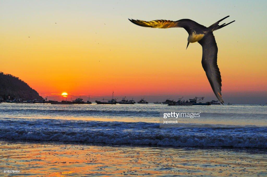 Frigatebird flying in the coast of Puerto Lopez : Stock-Foto