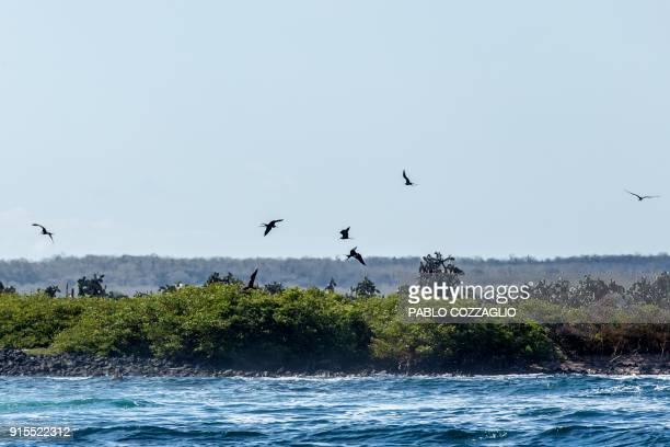 Frigatebirds fly above a mangrove wood in Santa Cruz Island Galapagos Ecuador on January 21 2018 Ecuador's growing tourism threatens the country's...