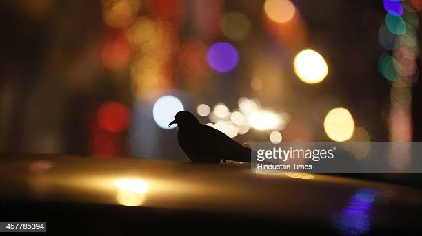 A frightened laughing Dove sits on a car's roof due to heavy noise of crackers on Diwali celebration on October 23 2014 in New Delhi India Diwali the...