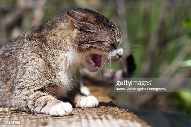 Frightened tabby grey cat growling