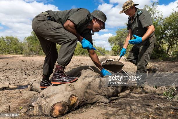Frik Rossouw Senior Investigator in KNP's Environmental Management Inspection unit examines a fallen white rhino recently dead inside Kruger National...