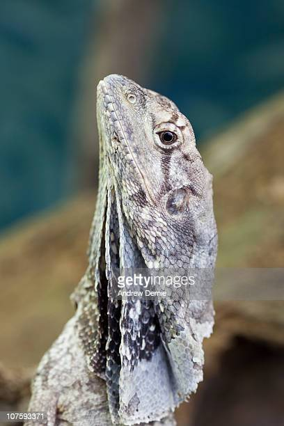 frill necked lizard - andrew dernie stock pictures, royalty-free photos & images