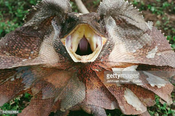 Frilled lizard in Kakadu National Park