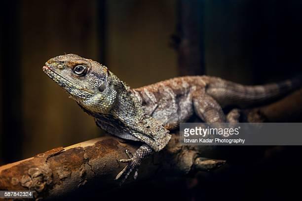 Frilled-neck Lizard (Chlamydosaurus kingii)