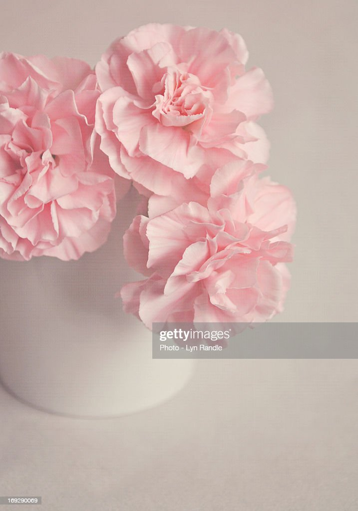 Frilly Pink Carnations : Stock Photo