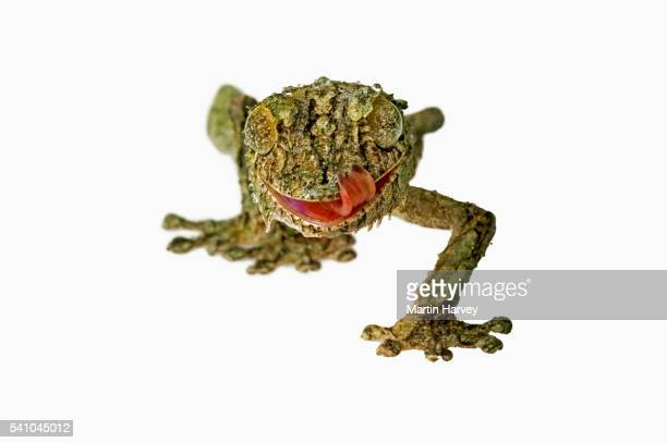 fringed gecko - geco de cola plana fotografías e imágenes de stock