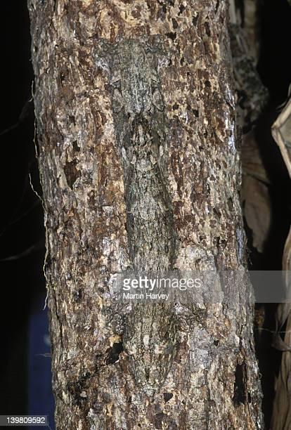fringed gecko uroplatus henkeli camouflaged to resemble tree bark madagascar northern madagascar â© m. harvey ma_gec_h_001 - ヒロオヤモリ ストックフォトと画像
