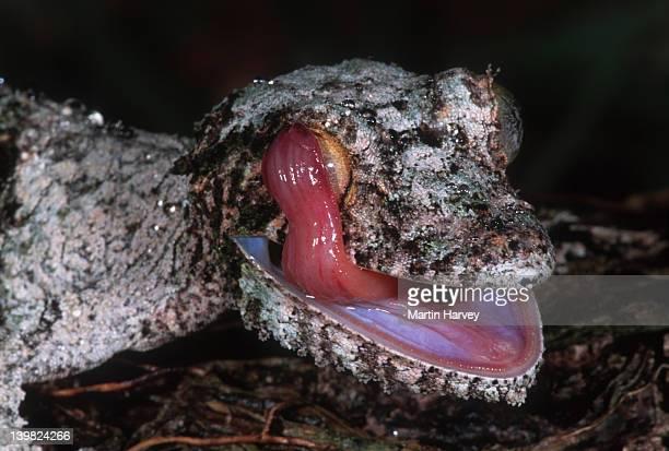 fringed gecko uroplatus henkeli uses tongue to clean face and eyes madagascar northern madagascar â© m. harvey ma_gec_h_006 - uroplatus fimbriatus foto e immagini stock