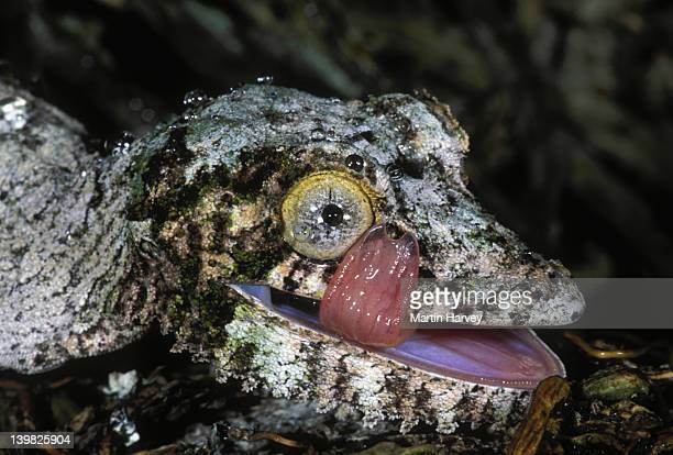 fringed gecko uroplatus henkeli uses tongue to clean face and eyes madagascar northern madagascar â© m. harvey ma_gec_h_005 - uroplatus fimbriatus stock pictures, royalty-free photos & images
