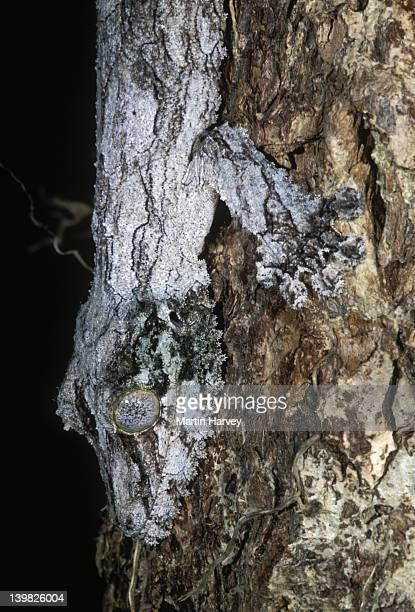 fringed gecko uroplatus sikorae camouflaged to resemble tree bark madagascar â© m. harvey ma_gec_s_002 - ヒロオヤモリ ストックフォトと画像