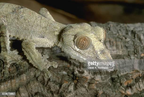 fringed leaf tail gecko in green - ヒロオヤモリ ストックフォトと画像