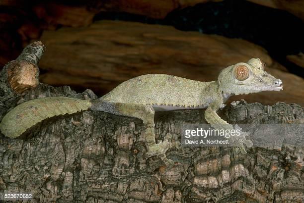 fringed leaf tail gecko - ヒロオヤモリ ストックフォトと画像
