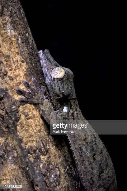 fringed leaf-tailed gecko - uroplatus fimbriatus foto e immagini stock