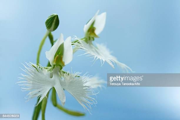 fringed orchid - 八月 ストックフォトと画像