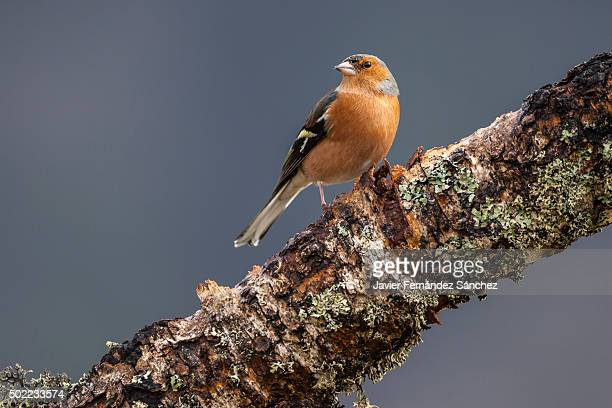 Fringilla coelebs. A common chaffinch on a branch covered with lichen.