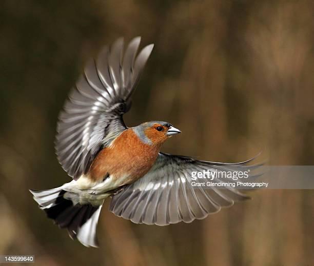 Fringilla coelebs in flight