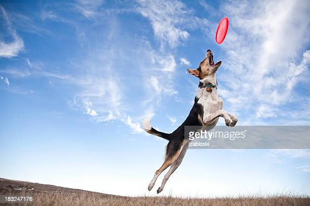 frisbee dog - catching stock pictures, royalty-free photos & images