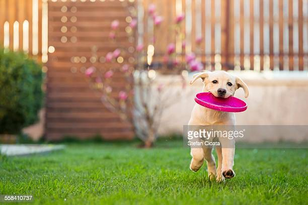frisbee - retrieving stock photos and pictures