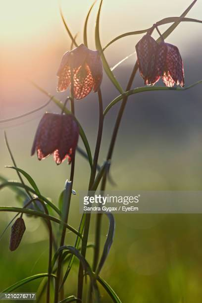 fritillaria in the morning sunlight - sandra gygax stock-fotos und bilder