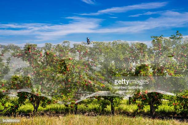 friut laden apple trees at thornbrooks orchard are protected by anti bird netting, nashdale near orange, central west new south wales - fruit laden trees stock pictures, royalty-free photos & images
