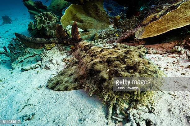 the tasselled wobbegong can be readily identified by the fringe of dermal lobes on its head. - fransenteppichhai stock-fotos und bilder