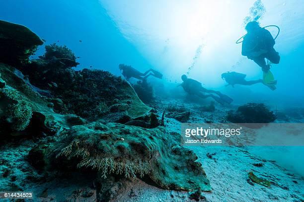 scuba divers approach a tasselled wobegong resting on the sandy ocean floor. - fransenteppichhai stock-fotos und bilder