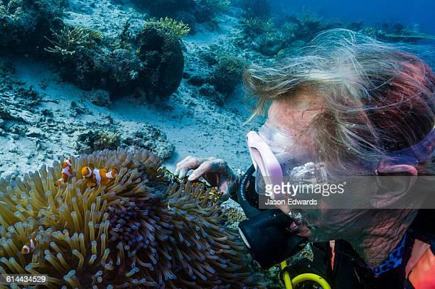 A scuba diver interacts with a Ocellaris Clownfish in a sea anemone.