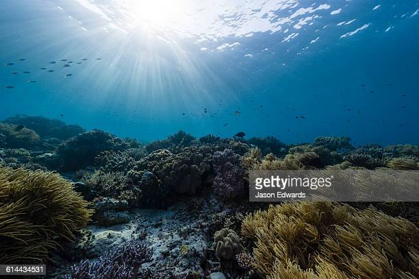 Schools of fish swimming through sunrays above a reef and Ellisela, Yellow Whip Coral.