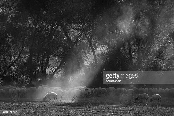 Robe formation de troupeau de moutons, Lightbeam sur Sellected un