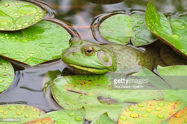 frog amidst lotus leaves in pond - ninfea foto e immagini stock