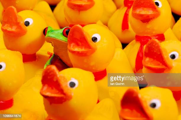 frog and communist ducks - ian gwinn stock photos and pictures