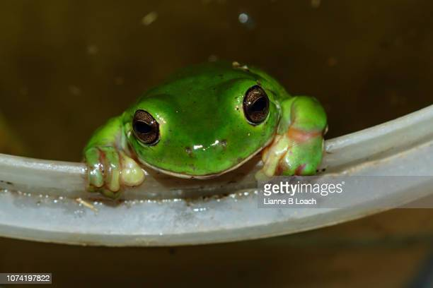frog bucket - lianne loach stock pictures, royalty-free photos & images