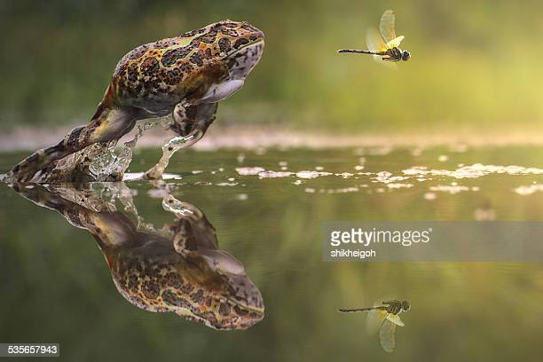 frog chasing damselfly, indonesia - insecte photos et images de collection