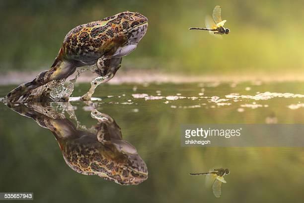 frog chasing damselfly, indonesia - seguir actividad móvil general fotografías e imágenes de stock