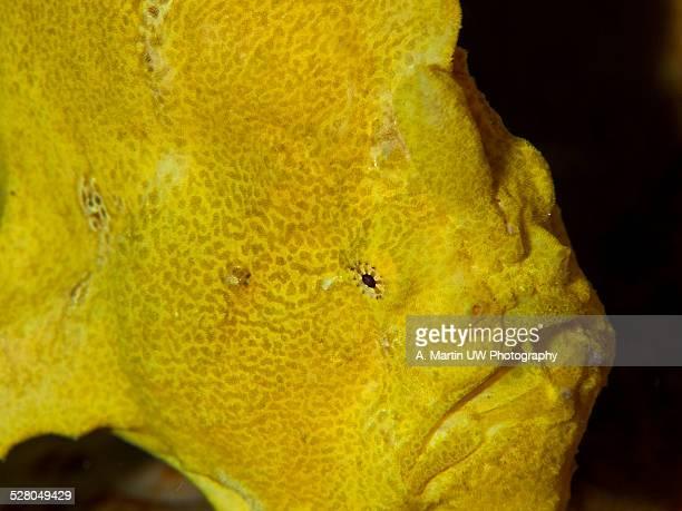 Frog fish (Antennarius sp.)