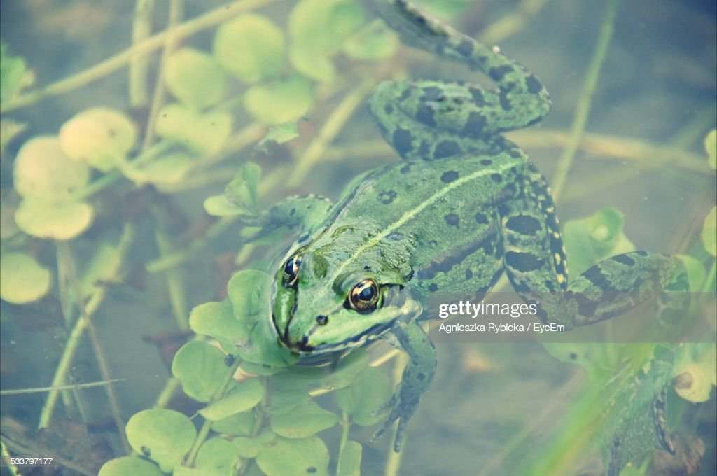 Frog Floating On Water : Foto stock