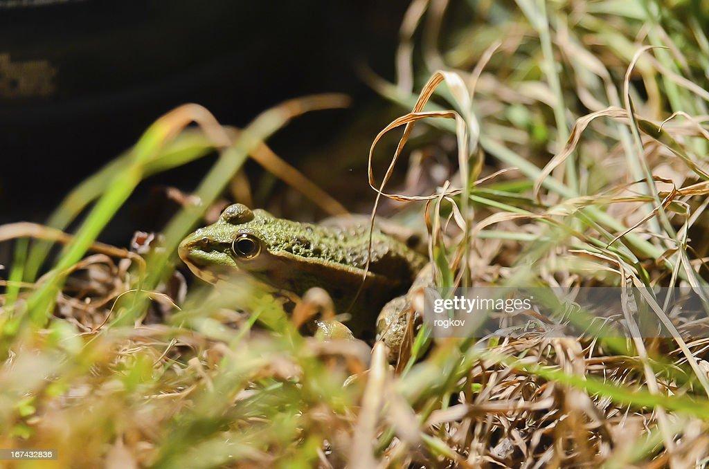 Rana en una hierba : Foto de stock