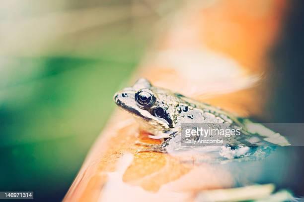 Frog in  garden pond