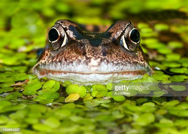 frog in pond - frog stock pictures, royalty-free photos & images