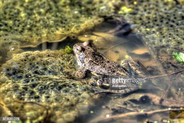 frog in pond - huevos de rana fotografías e imágenes de stock