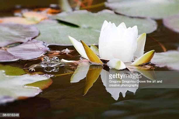 frog in pond - gregoria gregoriou crowe fine art and creative photography. stockfoto's en -beelden